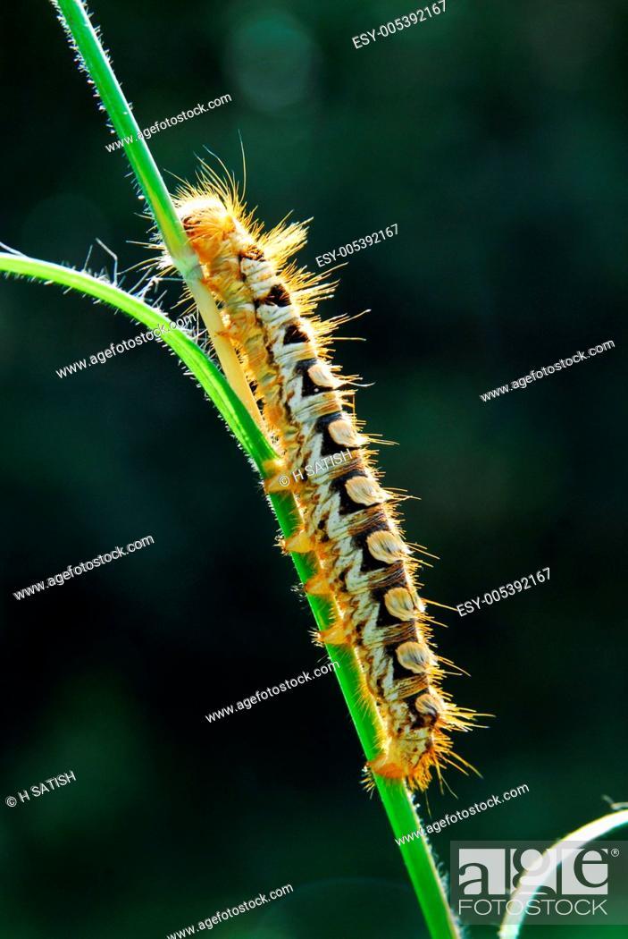 Caterpillar at omkar hills , Bangalore , Karnataka , India
