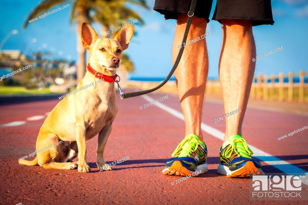 Stock Photo: chihuahua dog close together to owner walking with leash outside at the park as friends, dog looking what is happening around.