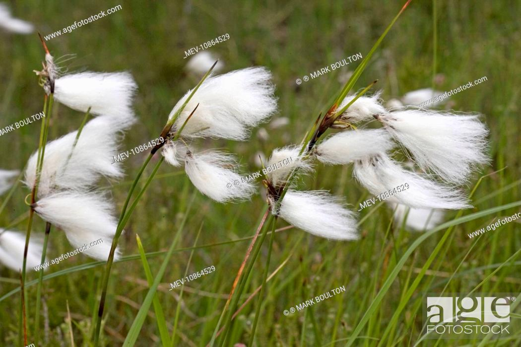 Stock Photo: Flowers of cotton grass or Hare's-Tail - blowing in wind (Eriophorum vaginatum). Ben Eighe National Nature Reserve, Scotland, UK.