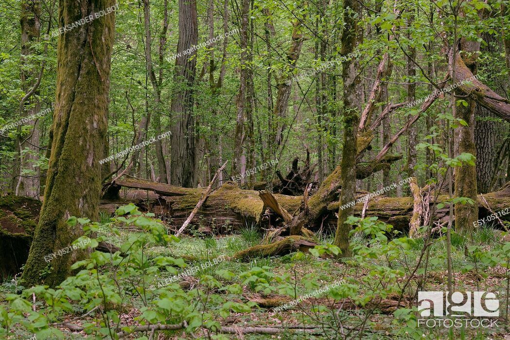Stock Photo: Deciduous stand with hornbeams and oak in springtime midday, Bialowieza Forest, Poland, Europe.