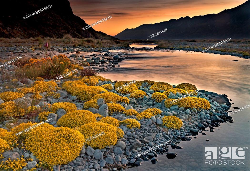 Imagen: Myosotis species, ( mouse ears) cushion plant, dawn in Tasman river valley, Aoraki / Mount Cook National Park.