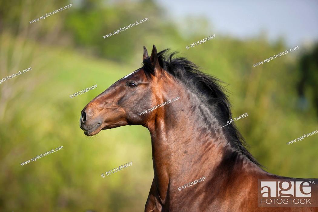 Stock Photo: Lusitano horse - portrait.