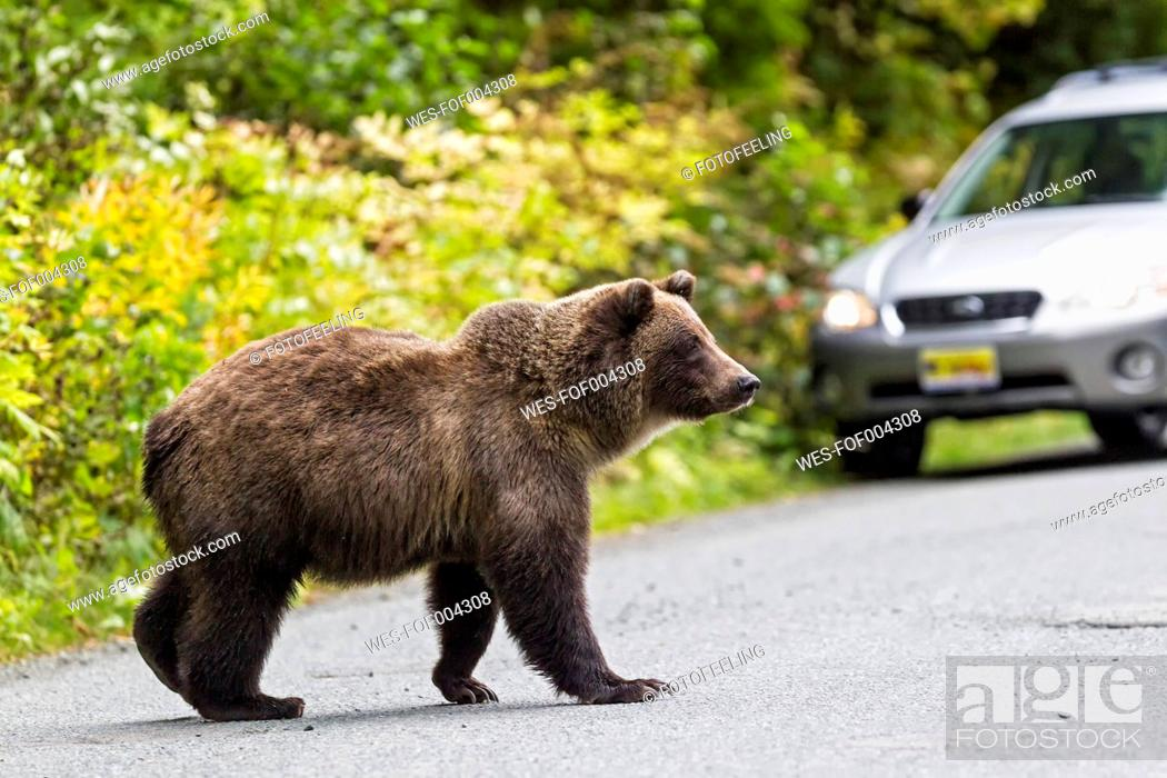Stock Photo: USA, Alaska, Brown bear walking on road near Chikoot Lake.