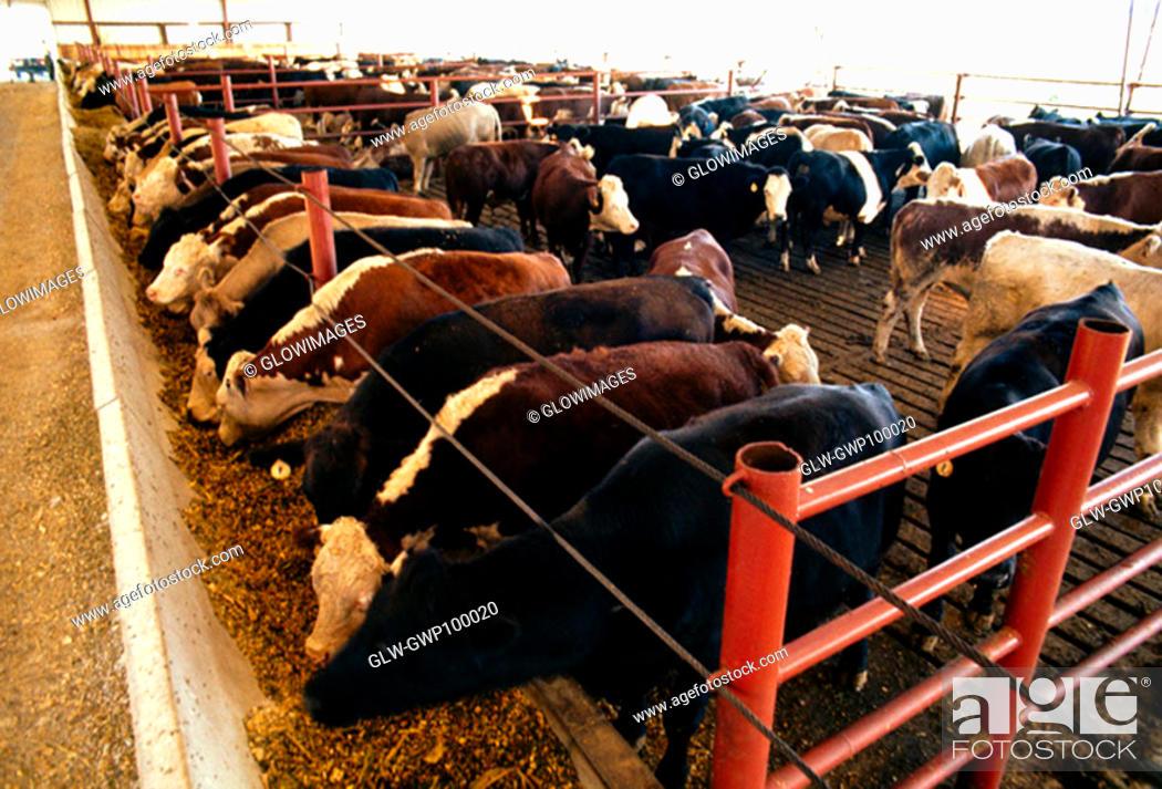 Stock Photo: Cow feedlot, OH.