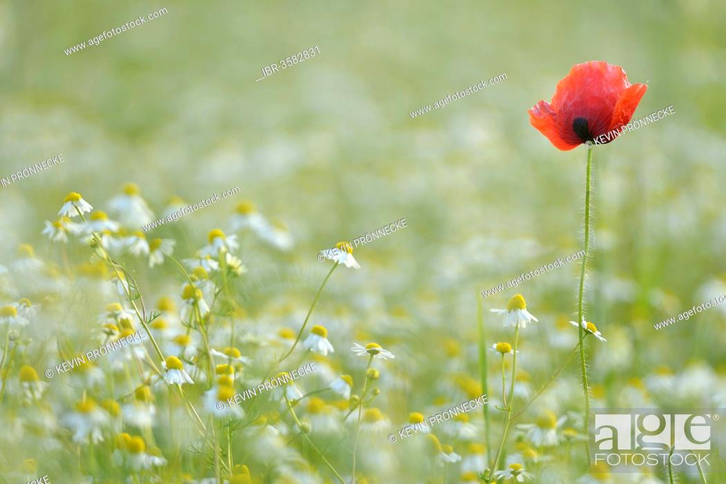 Stock Photo: Corn Poppy or Red Poppy (Papaver rhoeas) and Chamomile (Matricaria chamomilla) flowering on a field, Saxony, Germany.