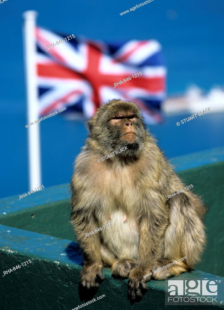 Stock Photo: Barbary rock ape at the Top of the Rock, Gibraltar, British overseas territory, Europe.