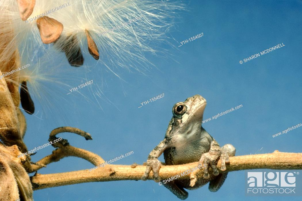 Stock Photo: Little tree frog, Hyla versicolor, with big dreams looking to the sky from his stalk of milkweed seeds.