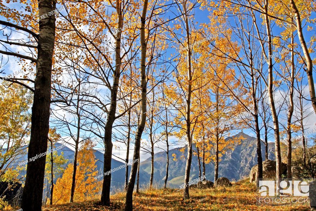 Stock Photo: Beech forest, Pla de l'Ermita, Taüll, Vall de Boi, Pyrenees, Catalonia, Spain.