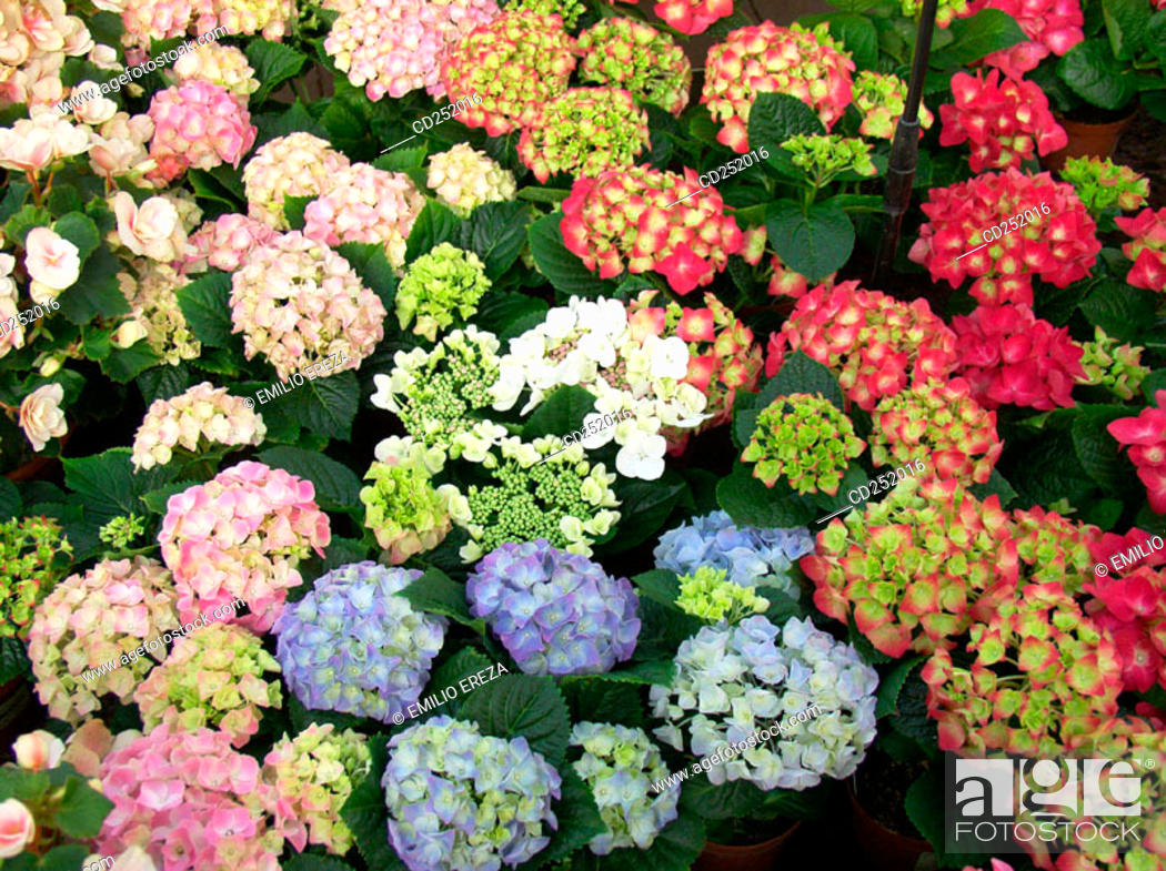 Stock Photo: Bigleaf Hydrangeas (Hydrangea macrophylla).