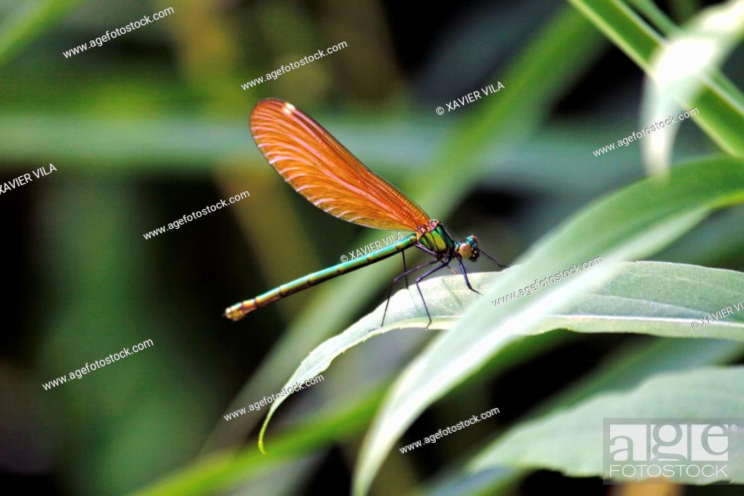 Stock Photo: Orange dragonfly, Chartreuse, Isere, Rhone Alpes, Alps, France.