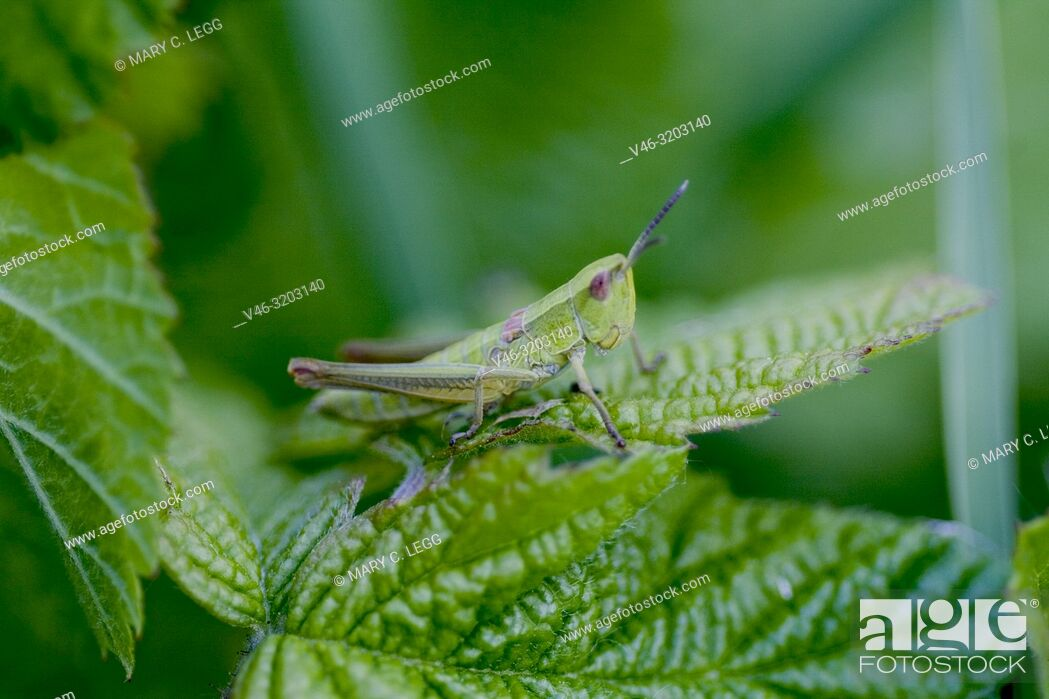 Stock Photo: Small Gold Grasshopper, Euthystira brachyptera, small short-horned grasshopper, 13-26mm long. Bodies are green-gold with female wings purplish or pink.
