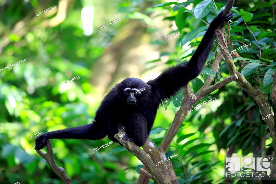 Stock Photo: Agile or Black-handed Gibbon (Hylobates agilis), adult, sitting on a tree, Asia.