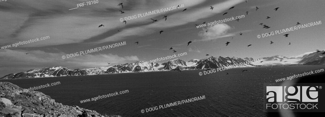 Stock Photo: Dovekie Colony Svalbard Norway.