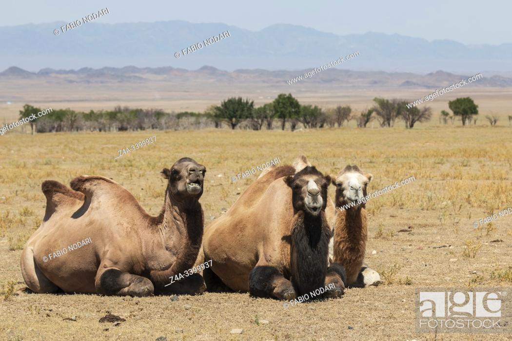 Stock Photo: Bactrian camels (Camelus bactrianus) in Kazakhstan.