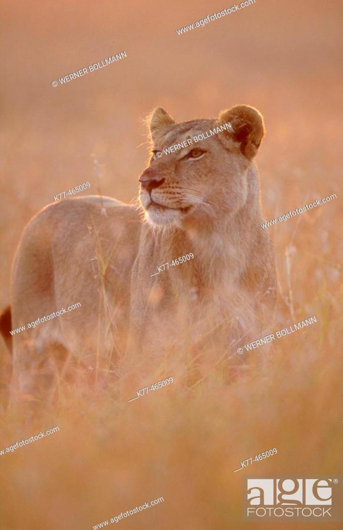 Stock Photo: Lioness in the savannah of the Masai Mara (Panthera leo). Masai Mara G.R. Kenya.