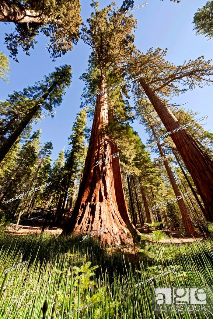 Stock Photo: Giant Sequoia or Sierra Redwood (Sequoiadendron giganteum) in Mariposa Grove.