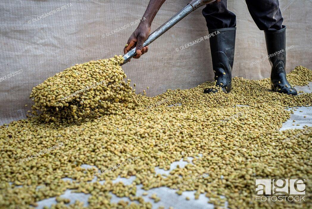 Stock Photo: Coffee producing at Mubuyu farm, Zambia.