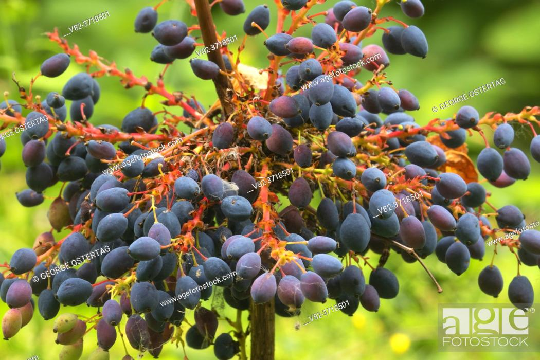 Stock Photo: Oregon grape (Mahonia aquifolium) berries, Willamette Mission State Park, Marion County, Oregon.