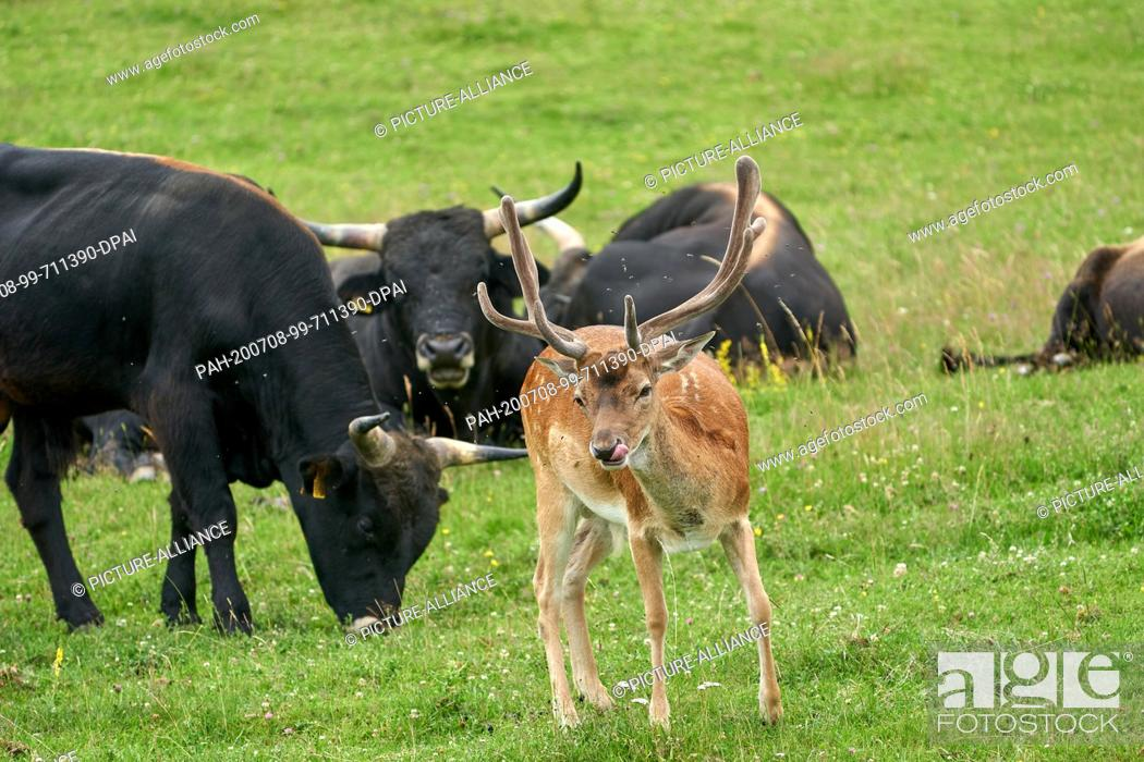 Stock Photo: 05 July 2020, Rhineland-Palatinate, Koblenz: A fallow deer from the forest has been joining a herd of Heck cattle for a good year.