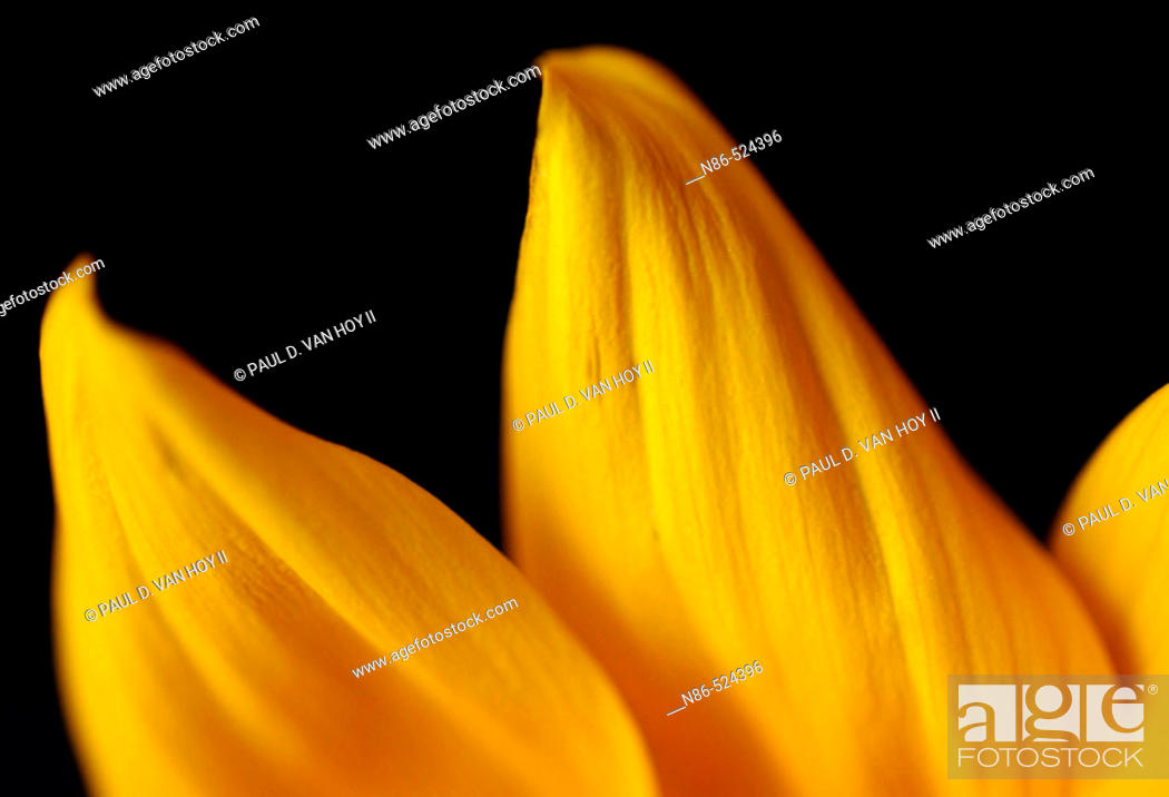 Stock Photo: Sunflower petals.