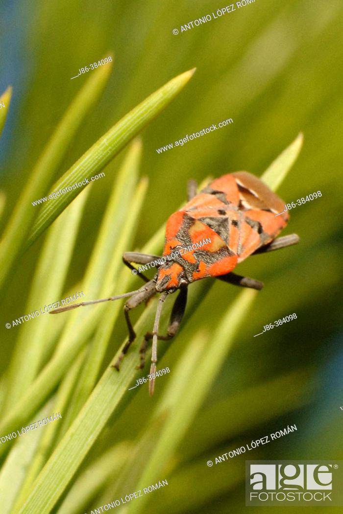 Stock Photo: Bedbug (Lygaeus equestris).