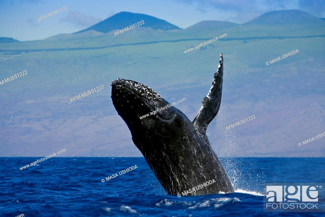 Imagen: Breaching Humpback Whale, Megaptera novaeangliae, Kona Coast, Big Island, Hawaii, USA.