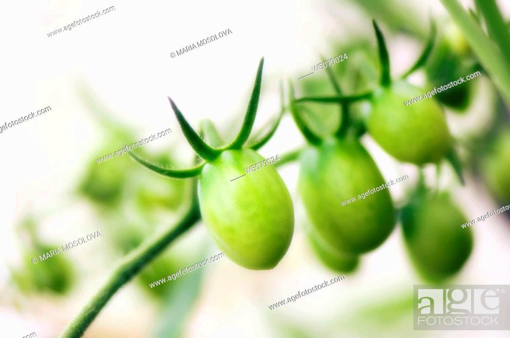Stock Photo: Green Cherry Tomatoes. Solanum lycopersicon. June 2007, Maryland, USA.