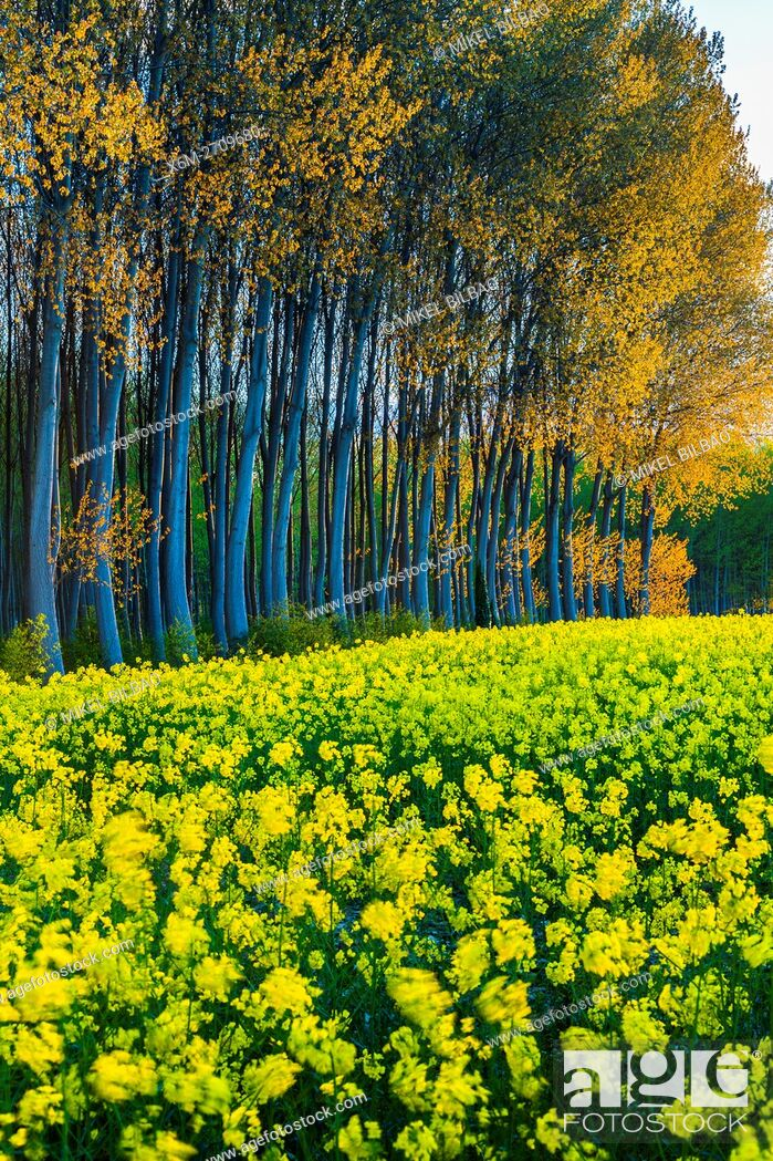 Imagen: Rapeseed crop (Brassica napus) and poplar (Populus sp. ) grove. Murieta village. Estella Comarca, Navarre, Spain, Europe.