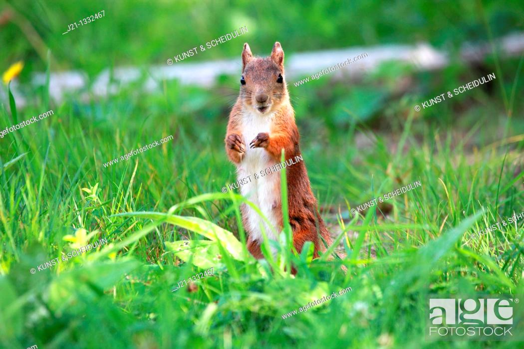 Stock Photo: Young female Eurasian Red Squirrel Sciurus vulgaris standing on a lawn and watching vigilant.