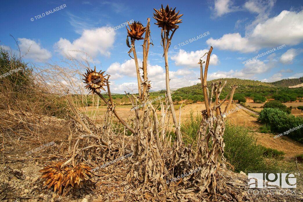 Stock Photo: Dry thistles. Puig des Moro. Porreres. Es Pla. Mallorca. Illes Balears. Spain.