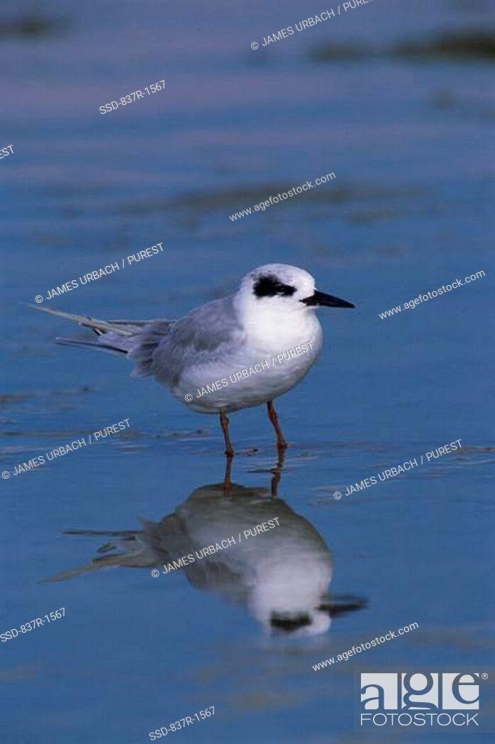 Imagen: Forster's Tern standing in water.