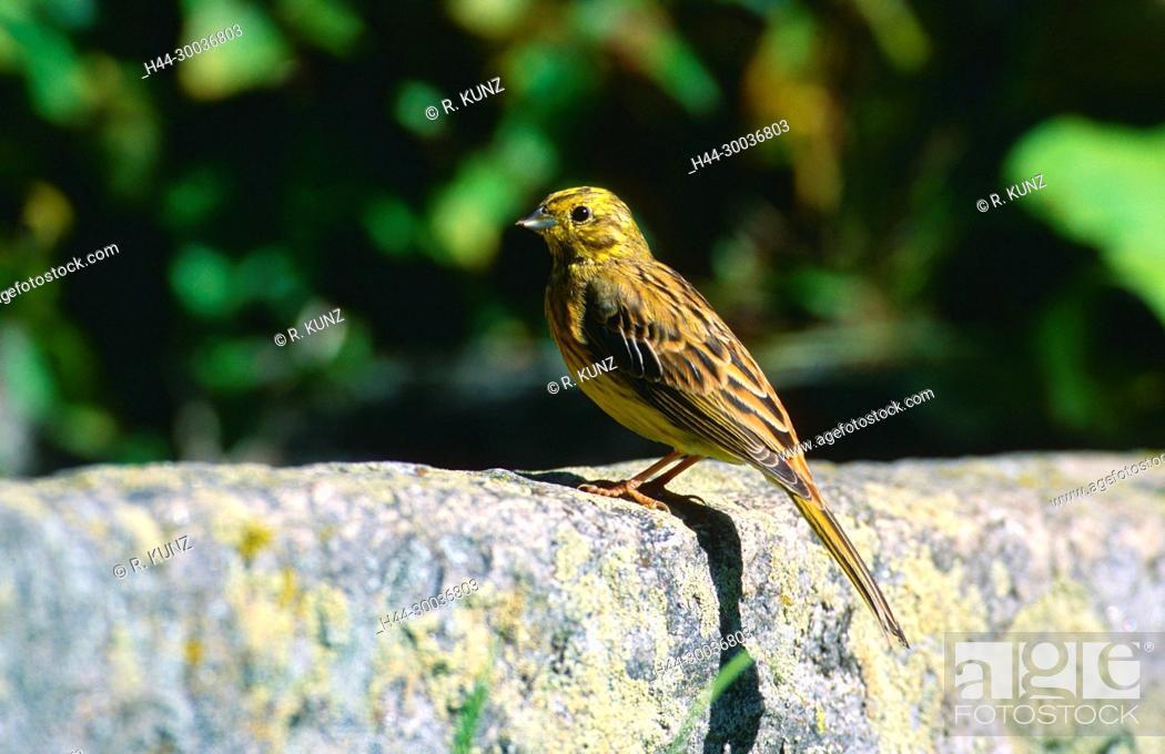 Imagen: Yellowhammer, Emberiza citrinella, Emberizidae, male, bird, animal, Campello, Canton of Ticino, Switzerland.