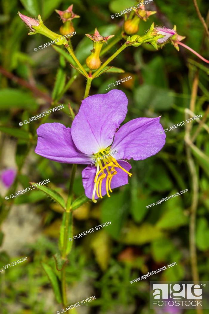 Stock Photo: Virginia Meadow Beauty (Rhexia virginica) Flower.