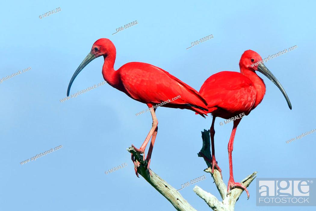 Stock Photo: Scarlet Ibis (Eudocimus ruber). Venezuela.