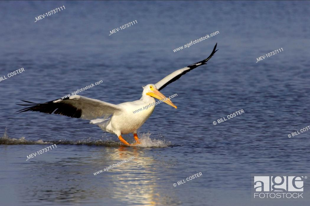 Stock Photo: American White Pelican - coming in to land (Pelecanus erythrorhynchos).