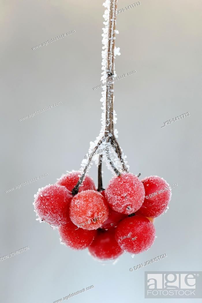 Stock Photo: Highbush cranberry Viburnum trilobum berries with frost.