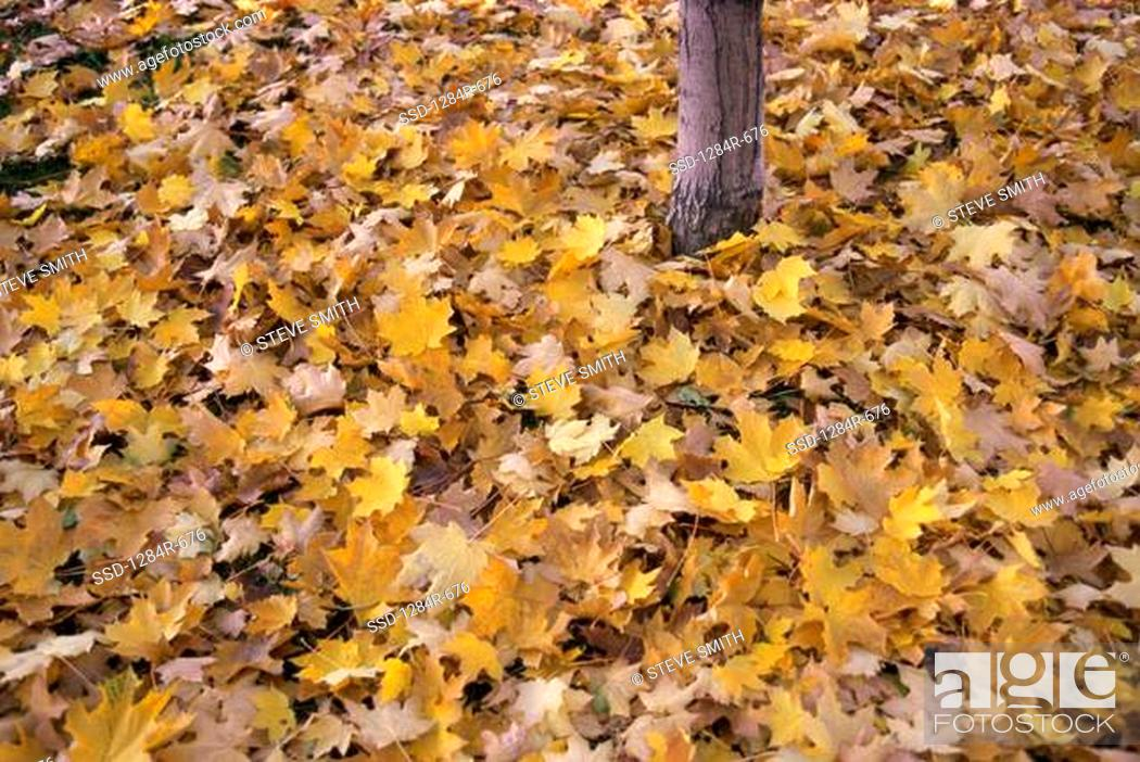 Stock Photo: Yellow leaves in autumn.