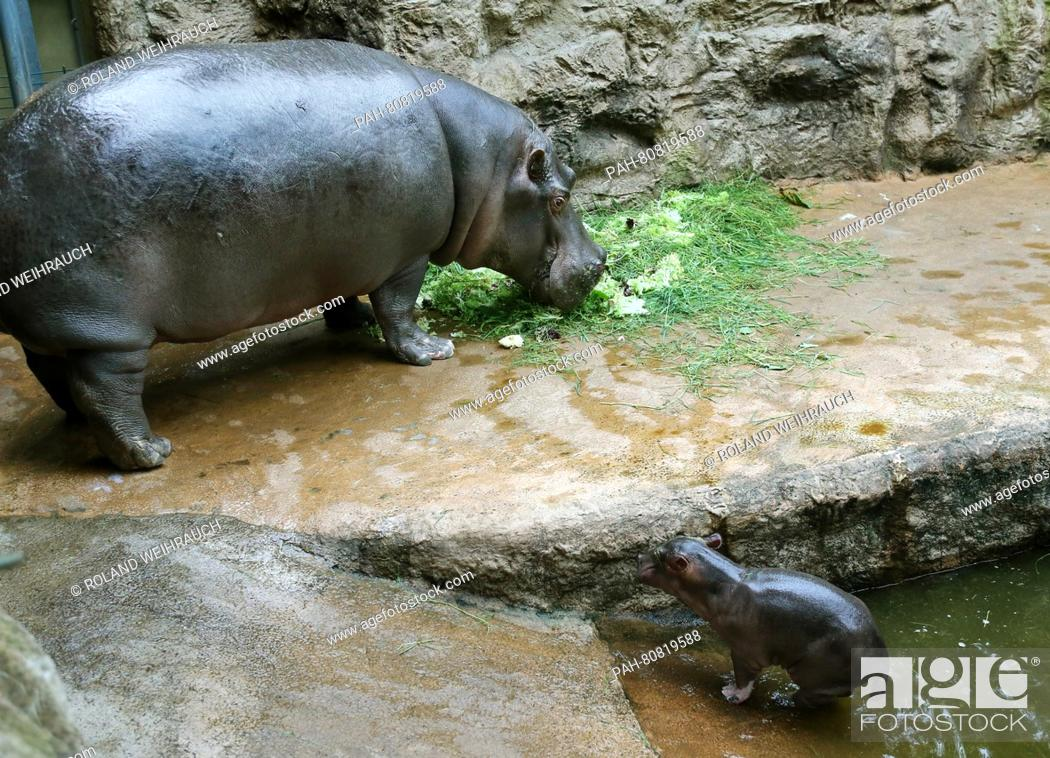 Stock Photo: Mother 'Asita' eats as her one-day old hippo calf examines its enclosure at the Zoom Erlebniswelt zoo in Gelsenkirchen, Germany, 30 May 2016.