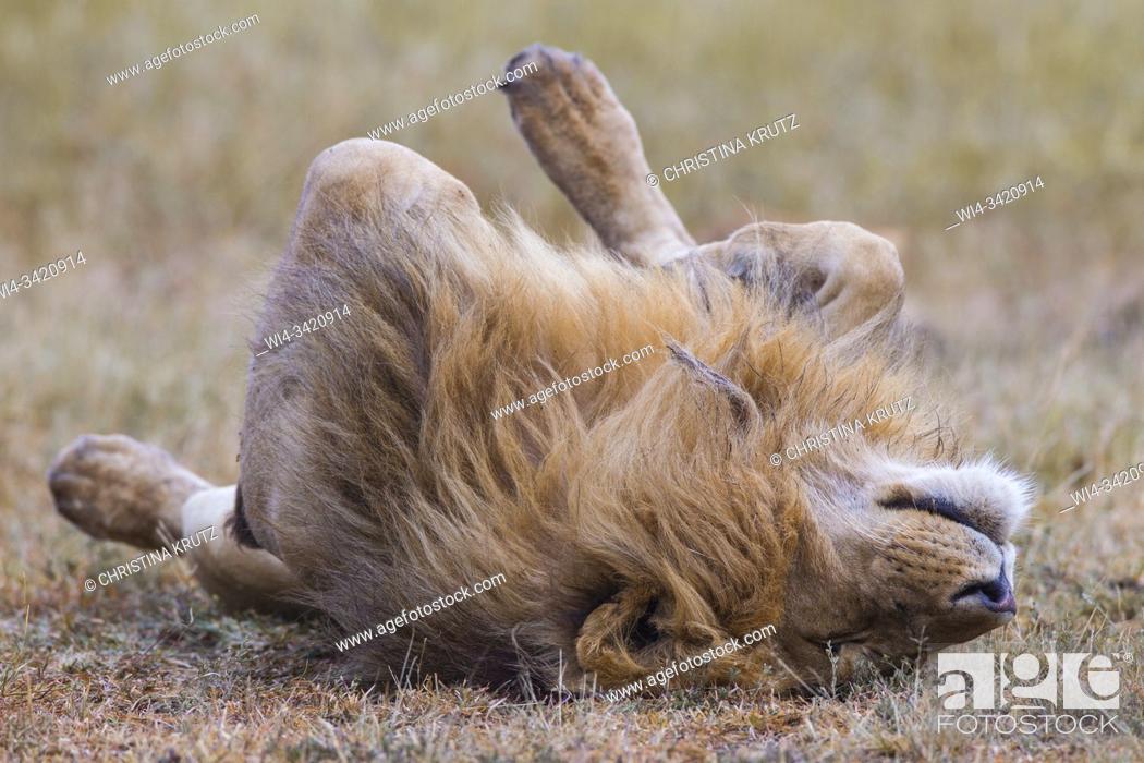 Stock Photo: African Lion (Panthera leo), male resting on back, Masai Mara National Reserve, Kenya.