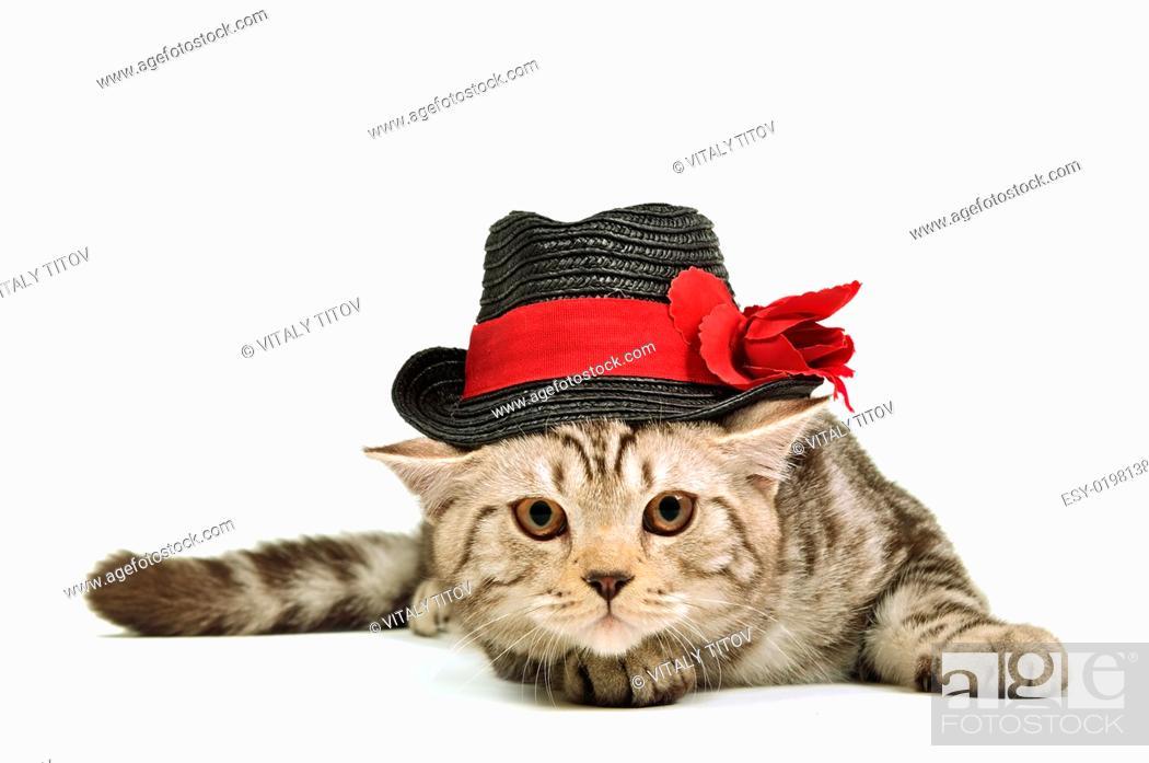 Stock Photo: Scottish fold kitten wearing black hat isolated.