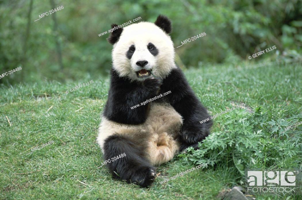 Stock Photo: GIANT PANDA (Ailuropoda melanoleuca) SITTING.