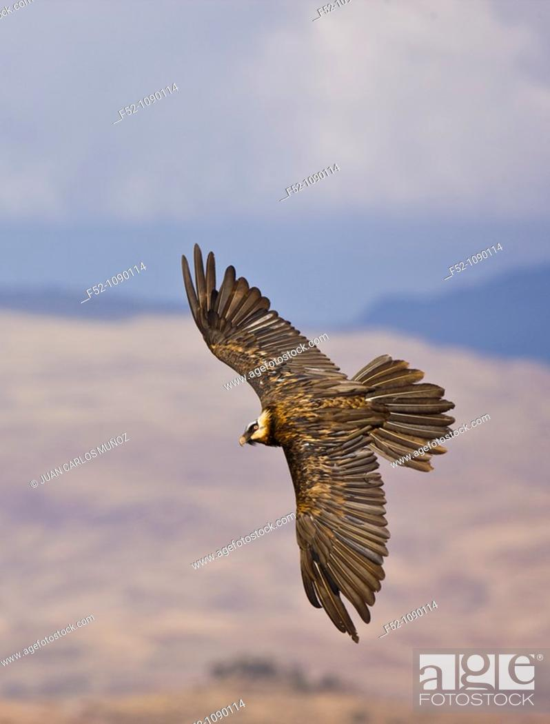 Stock Photo: Bearded Vulture (Gypaetus barbatus), Simien Mountains, Ethiopia.