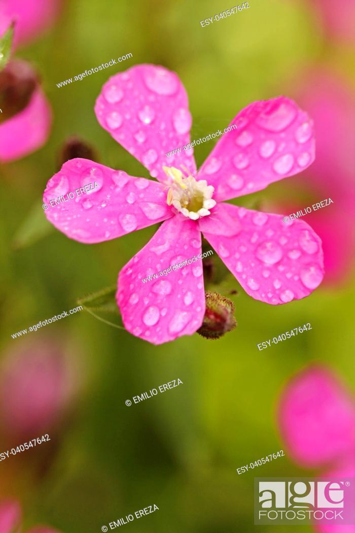 Imagen: Droplets on red campion flower.