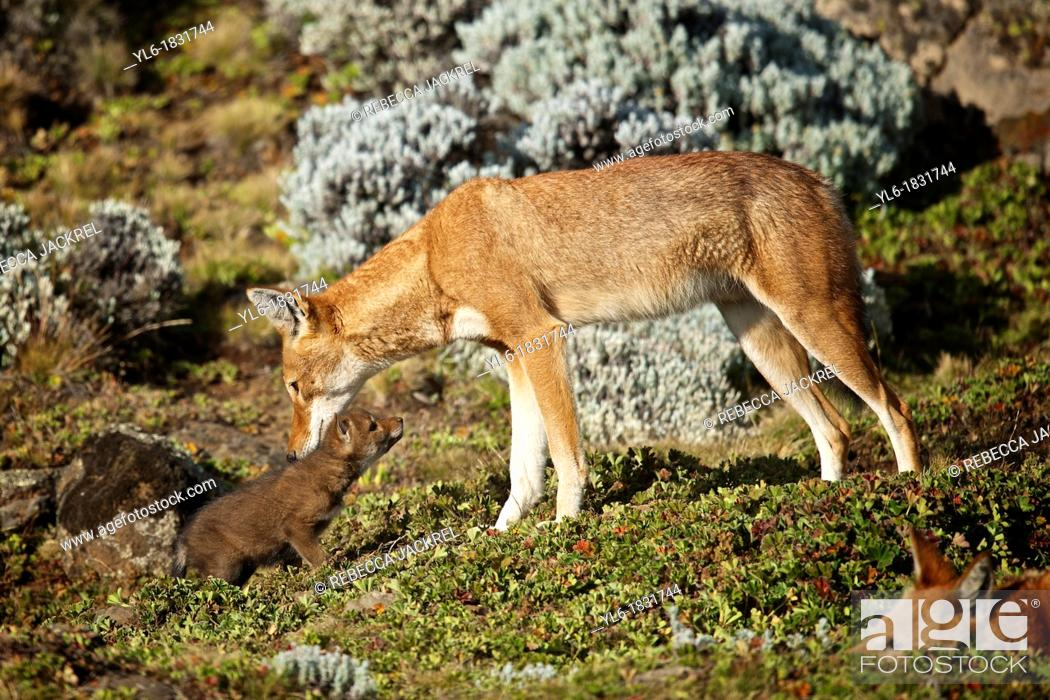 Stock Photo: Ethiopian wolf parent bonding with young.