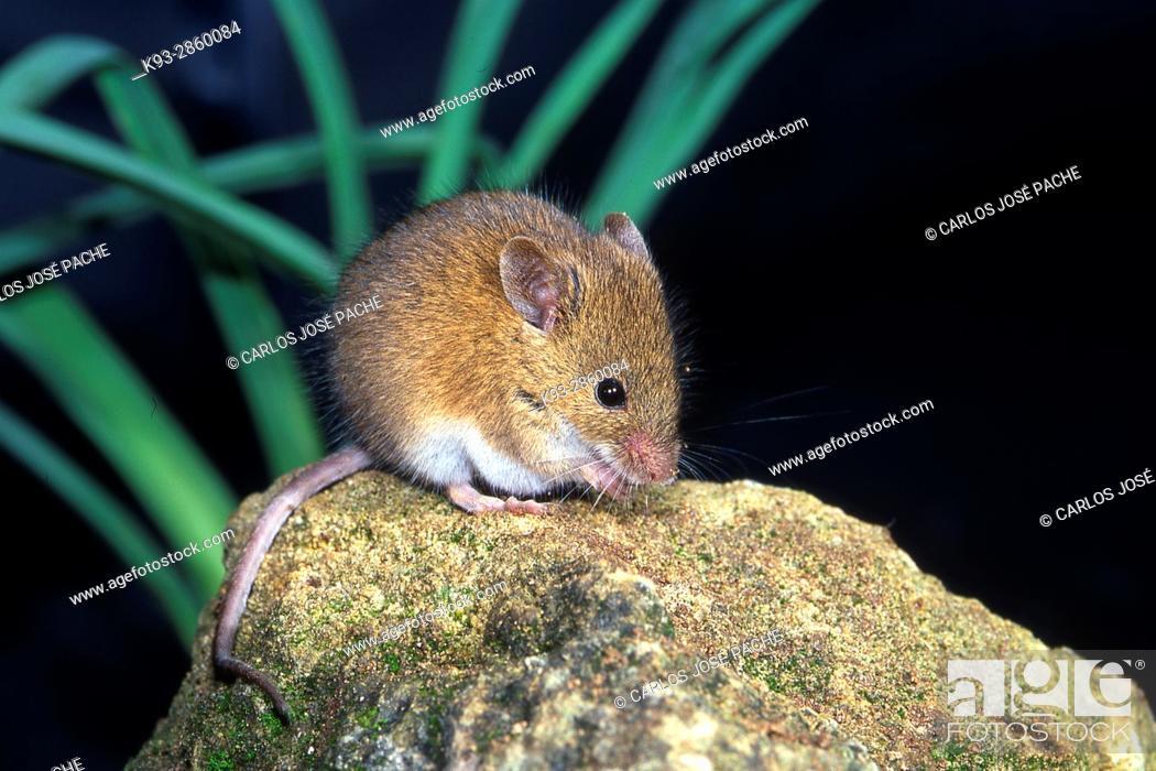 Stock Photo: House Mouse (Mus musculus). Parque Nacional de Monfrague, Extremadura.