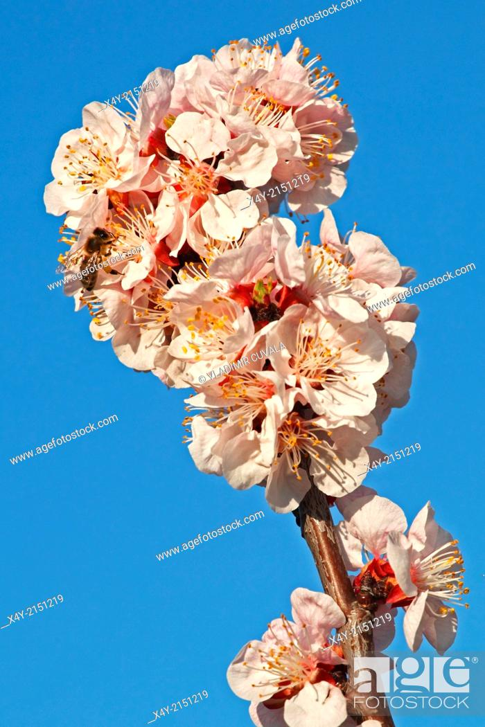 Stock Photo: European honey bee (Apis mellifera) collecting nectar on Apricot flowers (Prunus armeniaca), variety Bhart. Location: Male Karpaty, Slovakia.