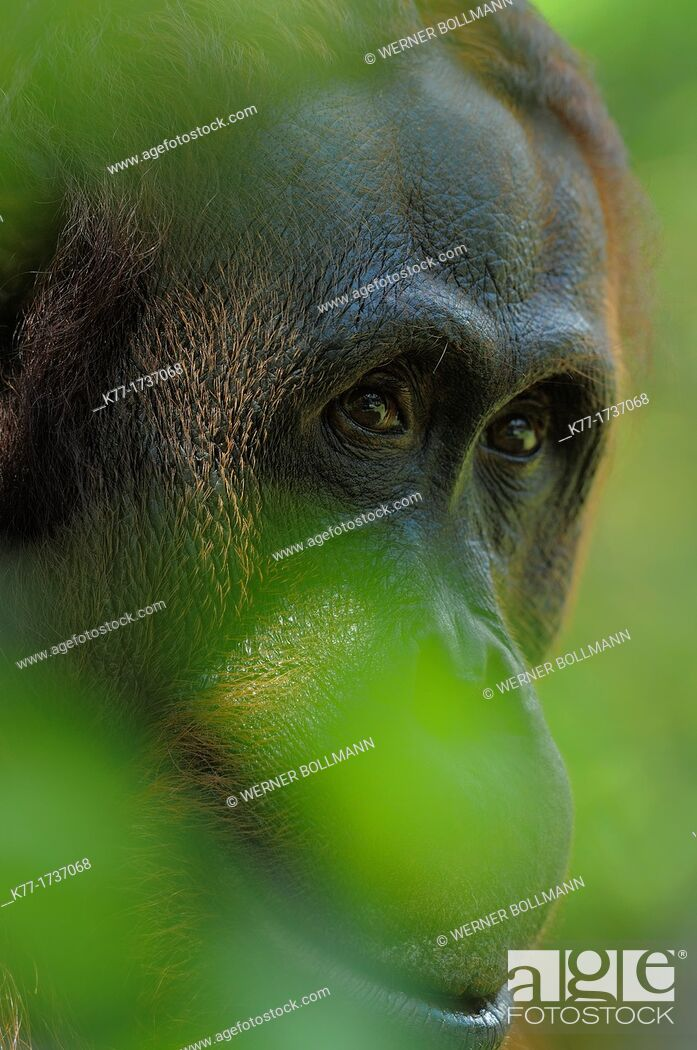 Stock Photo: Orang Utan Pongo pygmaeus, Tanjung Puting National Park, Province Kalimantan, Borneo, Indonesia.