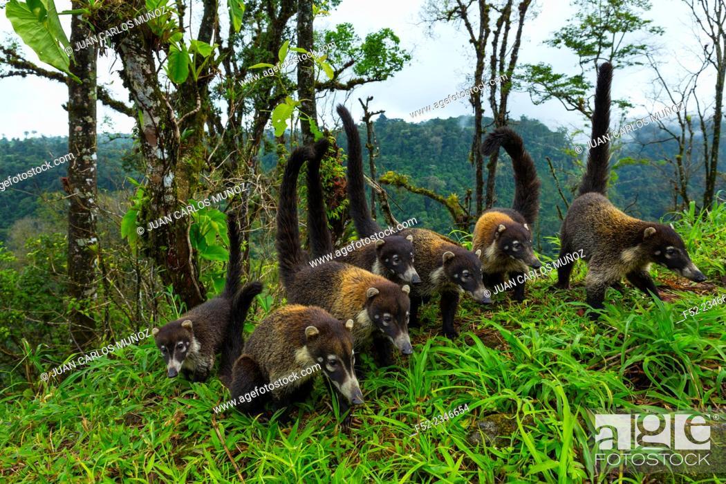 Stock Photo: White-nosed coati (Nasua narica), Alajuela Region, Costa Rica, Central America, America.