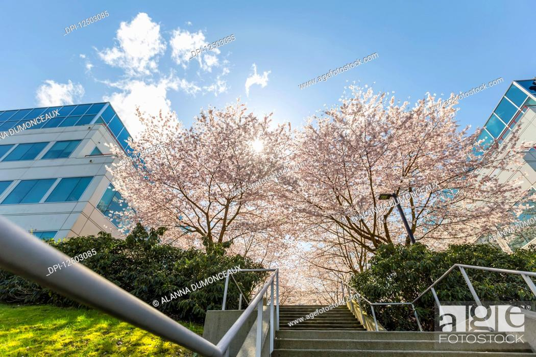 Stock Photo: Spring blossom cherry trees in full bloom line this concrete set of steps and walkway at an office building complex with stairs leading up the path towards the.