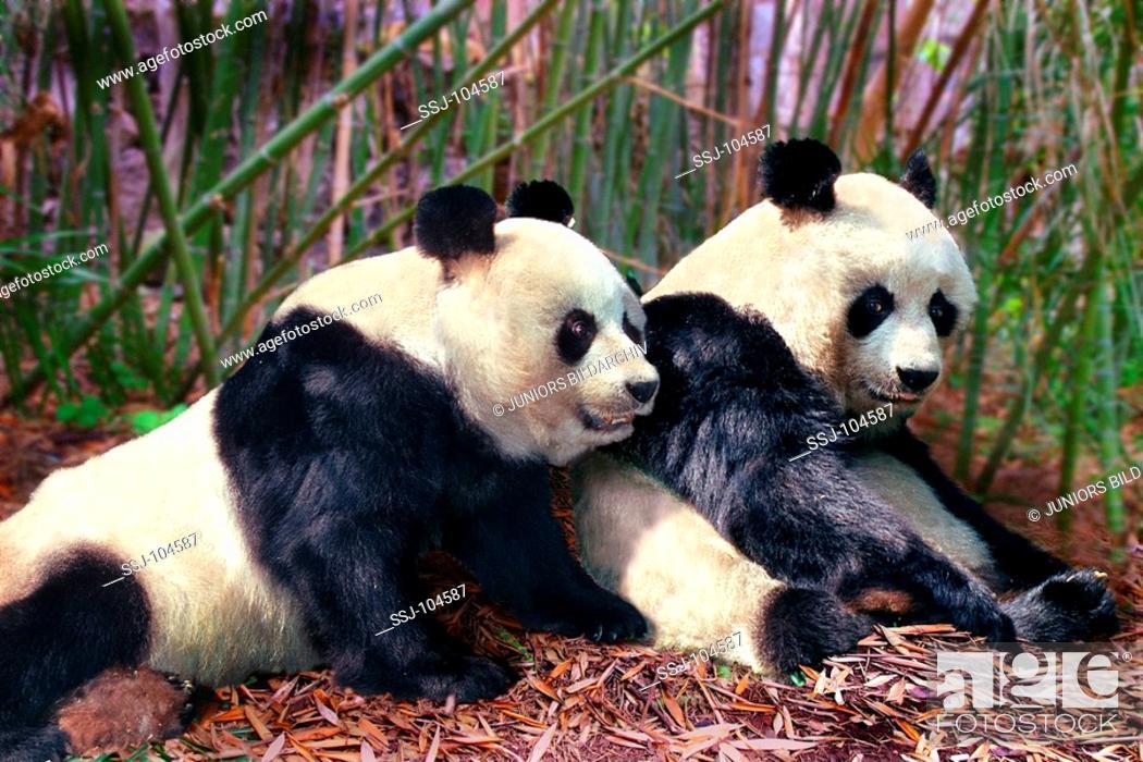 Stock Photo: ailuropoda melanoleuca / giant panda.